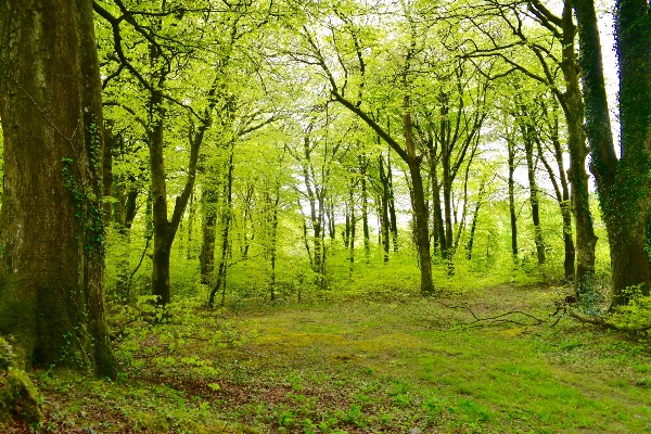 Beech wood near Plasterdown May 2017