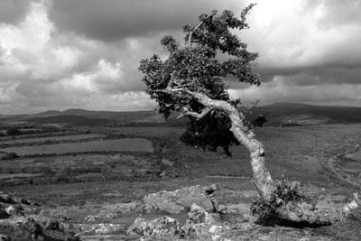 Hawthorn At Sharptor, Dartmoor