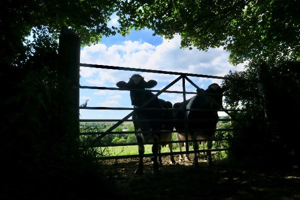Cows at Lamerton June 2017