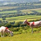 Sheep on Pork hill Dartmoor June 2017