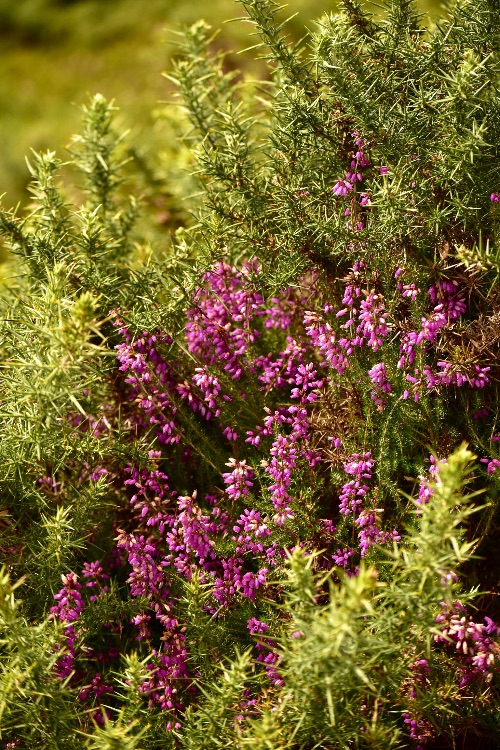 Heather, near Brentor August 2017.
