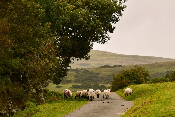 Sheep in lane near Pew Tor September 2017