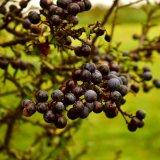 Sloe berries August 207