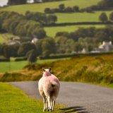 Sheep near Brentor September 2017.
