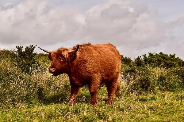 Highland cow near Brentor September 2017