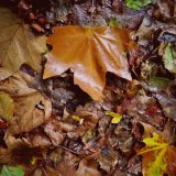 Leaves in Tavistock September 2017