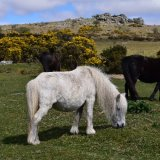Ponies and view of pew tor April 2017