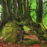 Beeches at Burrator reservoir, Dartmoor