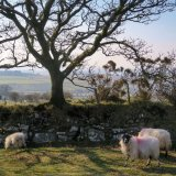 Sheep and oak tre near Pew Tor March 2016