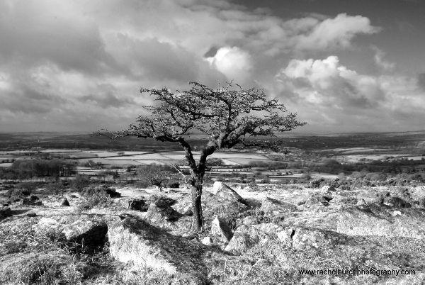 Hawthorn, Pew Tor Dartmoor
