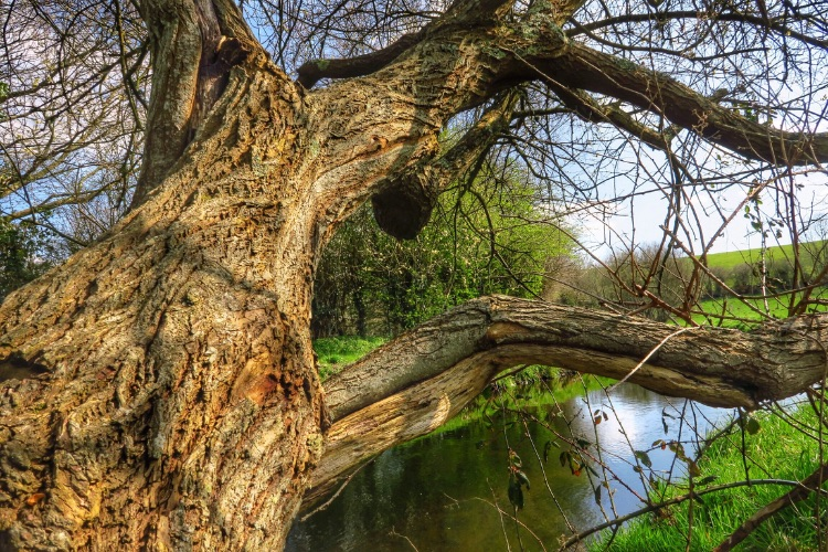 Willow on Tavistock canal