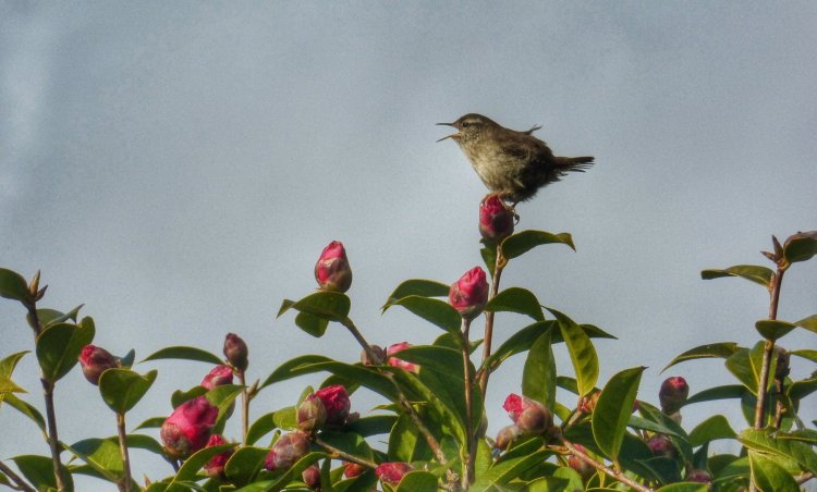 Wren in song, Tavistock Feb 2015.