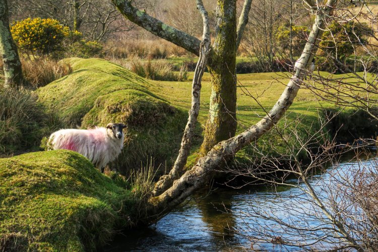 Sheep near stream on Whitchurch Down, Dartmoor. March 2015.
