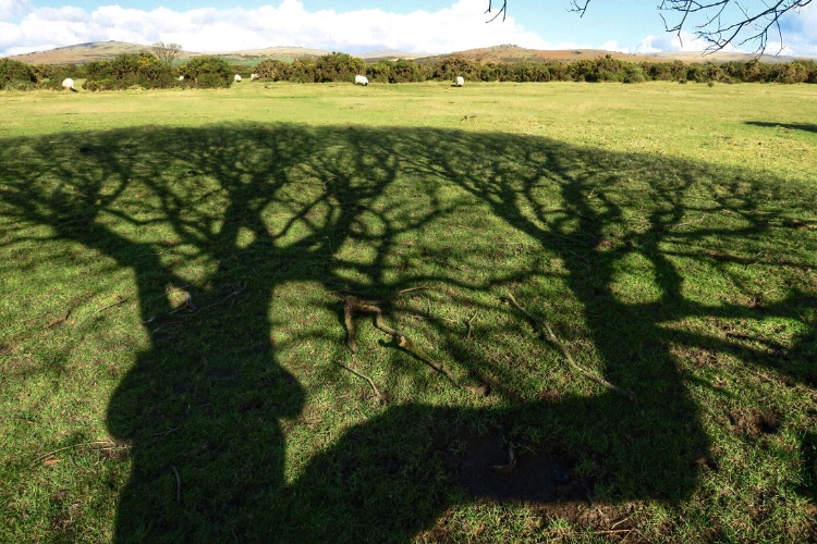 Willow shadow, Plasterdown, Dartmoor. Feb 2016.