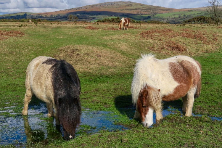 Ponies on Whitchurch down February 2016