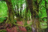 Beech trees near Burrator reservoir Dartmoor