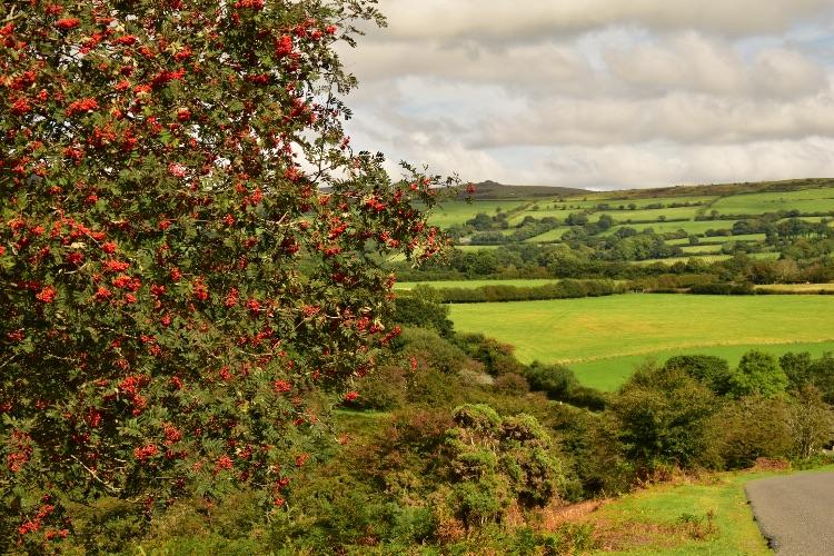 Rowan berries near Whitchurch down August 2016