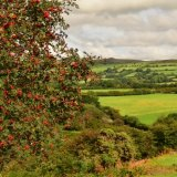 Rowan berries near Whitchurch down August 2016