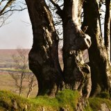 Beech at Fourwinds Dartmoor March 2017
