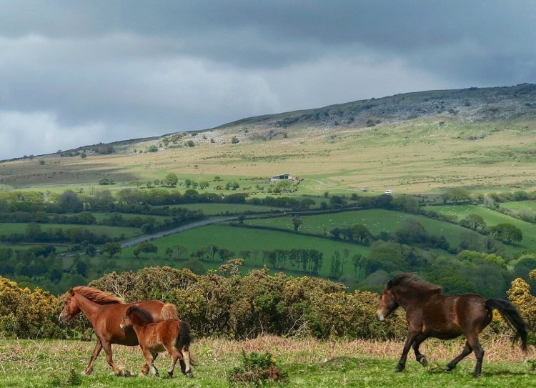 Ponies on whitchurch down Dartmoor May 2015.