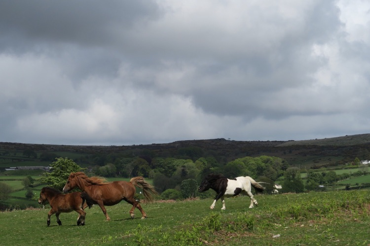 Ponies on Whitchurch Down Dartmoor