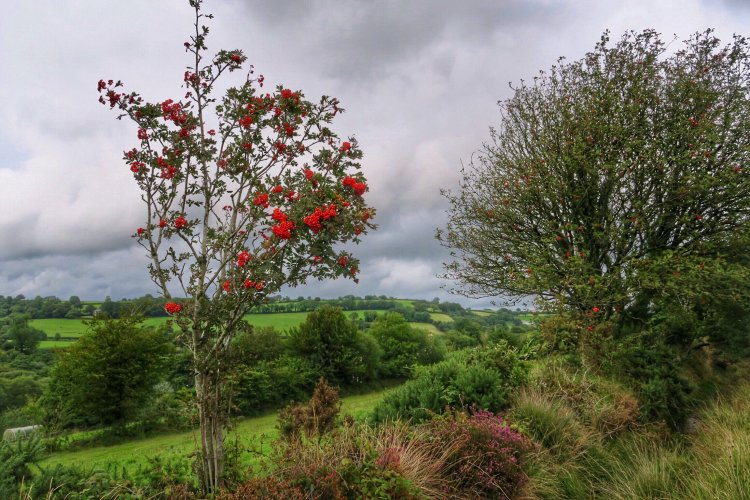 Rowan tree near Mary Tavy, August 2015.