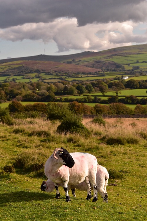 Sheep near Mary Tavy, October 2016