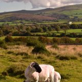 Sheep near Mary Tavy, October 2016
