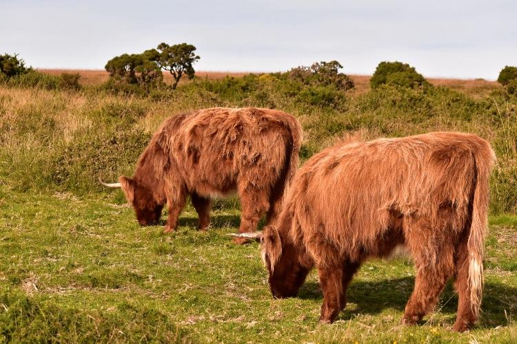Highland cattle near Brentor Dartmoor October 2016
