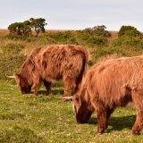 Highland cattle near Brentor Dartmoor October 2016