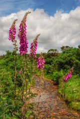 Foxgloves near Grimstione and Sortridge Leat Dartmoor.