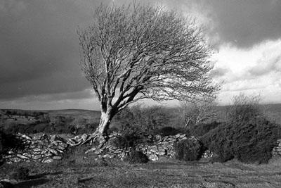 Ash Tree, Scorhill, Dartmoor.