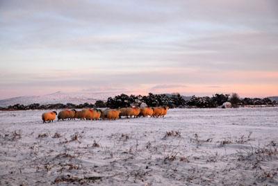 Sheep And Snow Plasterdown Dartmoor