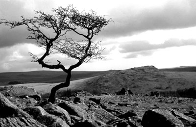 Tree At Leather Tor, Dartmoor.