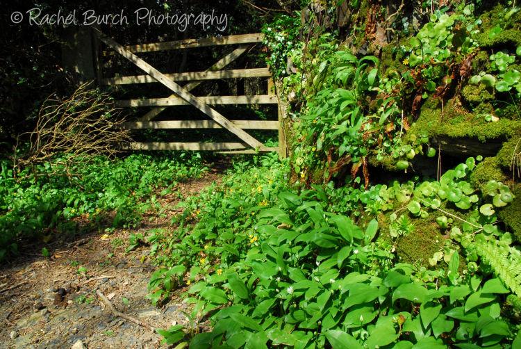 Gate, garlic and pennywort Middlemoor Dartmoor