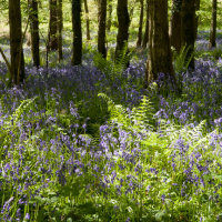 BLUEBELLS (BEFORE)