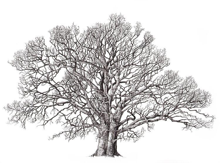 solitary farm oak