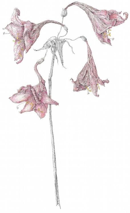 faded amaryllis