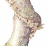 fungi on birch