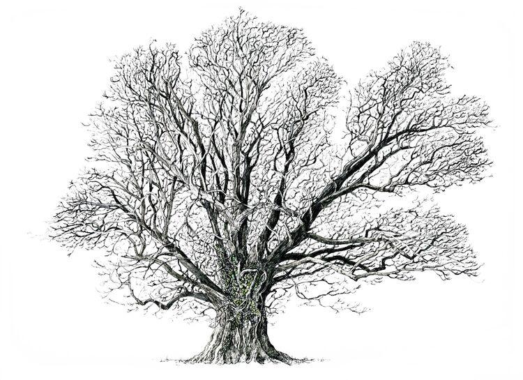 Lou's oak