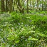 Ballaglass Bluebells & Ferns