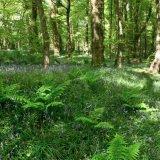 Ballaglass Bluebells and Ferns
