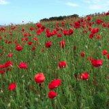 Commemorative Poppies