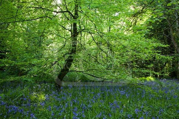 Ballaglass Bluebell Tree