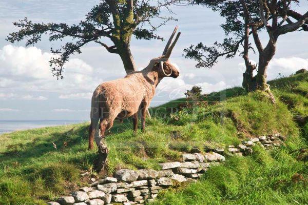 Manx Loaghtan Sheep