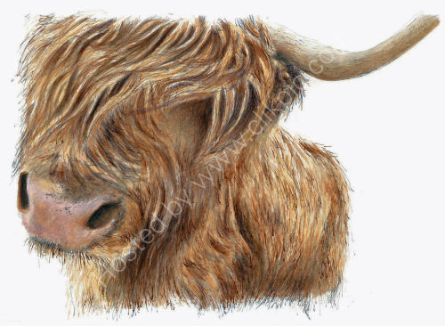 Highland Cow - Wildlife Print by Clare Thompson