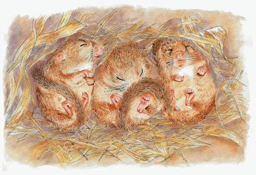 Door Mice - Wildlife Print by Clare Thompson
