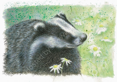 Badger - Wildlife Print by Clare Thompson