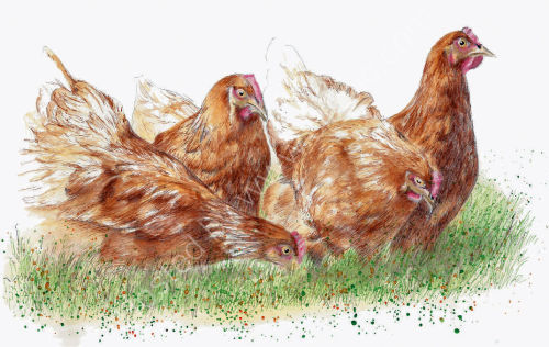 Hens - Wildlife Print by Clare Thompson