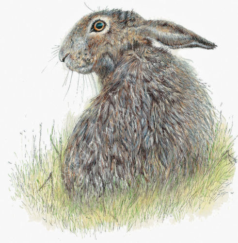 Single Hare Looking Left - Wildlife Print by Clare Thompson